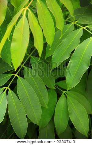Natural Green Leaf