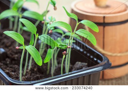 Young Seedlings Of Tomatoes Germinated From Seeds With Wooden Decorative Barrel On The Background. L