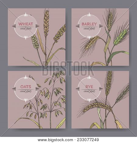 Set Of Four Banenrs With Bread Wheat, Rye, Barley And Oats Color Sketch. Cereal Plants Collection. G