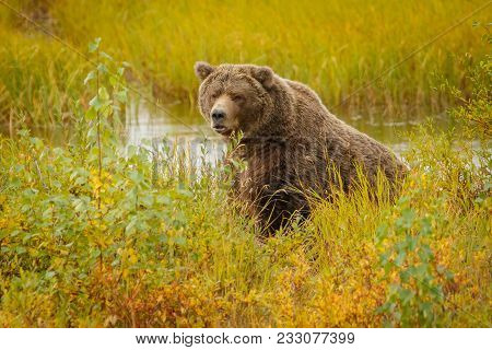 Huge Brown Bear In Brooks Camp In Katmai National Park In Alaska Looking At Us Without Any Interest,