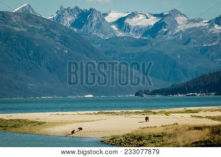 Bear Family On Sandy Beach In Haines In Alaska, Bears Sourrended By Beatiful Majectic Mountaines In