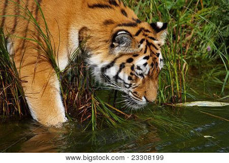 Siberian Tiger Going Into The Water