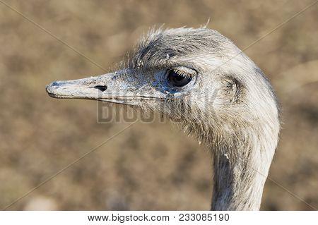 Portrait Of Greater Rhea (rhea Americana)