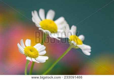 Feverfew Flowers. Close Up Detail Of Three Daisy Like Flowers With A Colourful Background. Selective