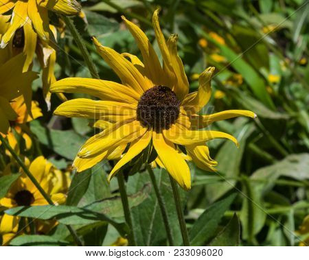 Black Eyed Susan, Rudbeckia Hirta, Yellow Flower Close-up, Selective Focus, Shallow Dof.