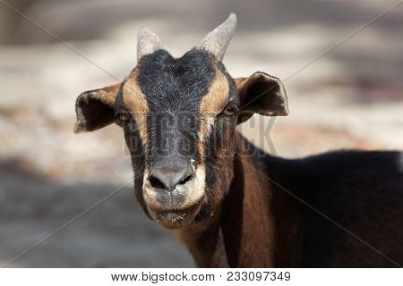 Face Of A  Ruminating Goat With Thick Cheeks.