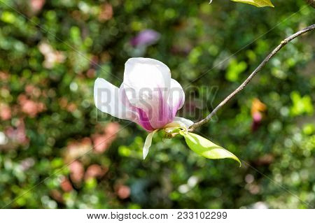 Magnolia Flower Blossoming On Twig On Green Bokeh Background. Spring Season Concept. Bloom, Blossom,