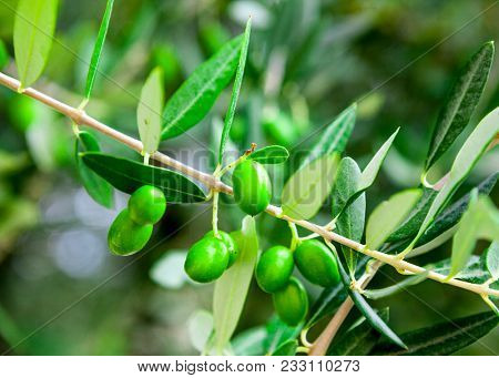 A branch of olives. Spanish green olives on a tree.