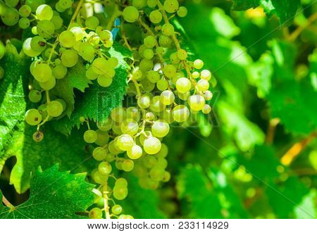 Close-up of a bunch of white grapes. Vineyards sunny day with white ripe clusters of grapes. Italy Lake Garda.