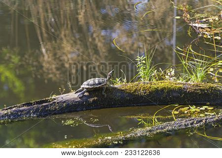 The Turtle Is Basking In The Sun On A Tree Trunk Lying On The Surface Of A Pond