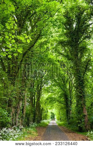 Trees and bushes along straight country road forming a tunnel in Southern England