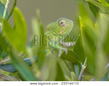 African Chameleon (chamaeleo Africanus) Climbing On Branch In Natural Tree Habitat And Peeking Throu