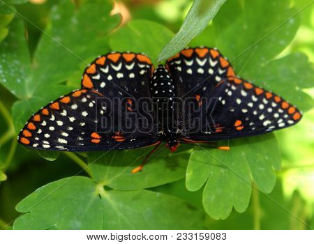 A Black Butterfly With Orange Accents Sitting On Leaves In Summer.