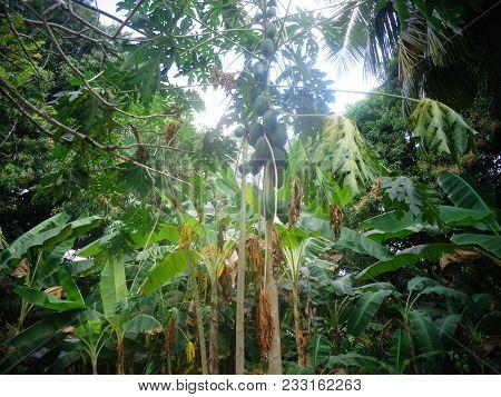 Fresh Organic, Green Raw Papaya Growing On A Tree