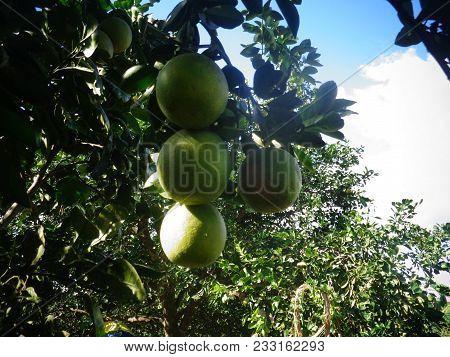 Fours. Ripe, Fresh Organic Oranges Hanging On An Orange Tree.