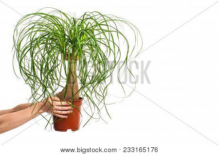 Girl Holding Nolina In Flower Pot Isolated On White Background.