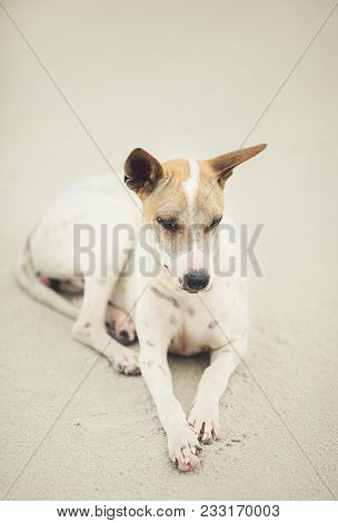 Thai dog lies on beach of Thailand. mammal resting in bliss. pet of the sea. poster
