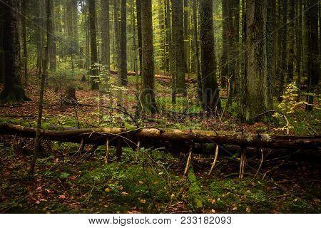 Forest Landscape, Broken Pine Tree In Green Forest Under Autumn Light. Forest Fall Nature Landscape