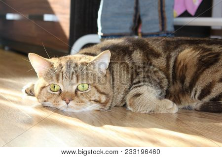 Beautiful Curious Scottish Wildcat (felis Silvestris Grampia) Relaxing And Looking At Camera. Golden
