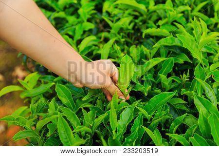 Picking Tea, White Female Hand Plucks The Green Petals Of Tea, Work On A Tea Plantation Close Up