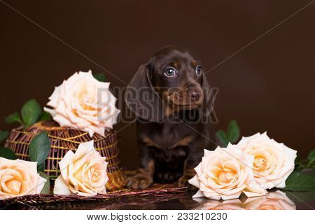 dachshund  puppy and flowers roses