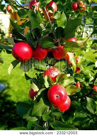 Apple Tree With Ripe Fruits In Autumn
