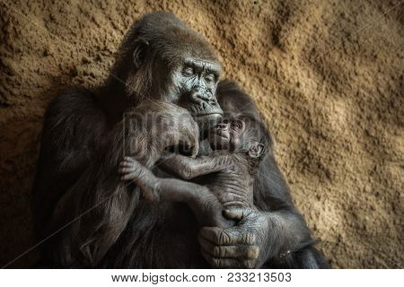 24-year-old Western Lowland Gorilla And Its Six-week-old Baby.