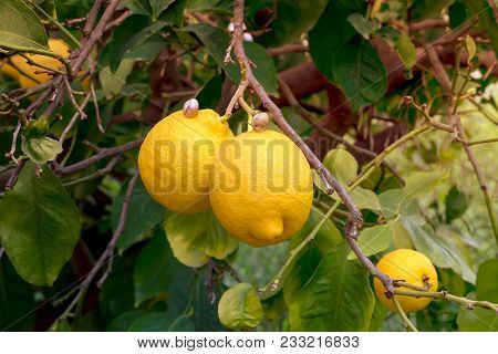 Snails And Ripe, Yellow Lemons Hang On A Tree In A Orchard Close-up On A Sunny Day