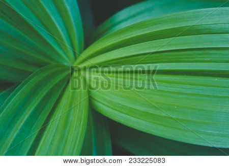 Forest Green Colorful Leaves Closeup. Photo Depicts Macro View Of A Big Ribbed Dark Green Leaf.