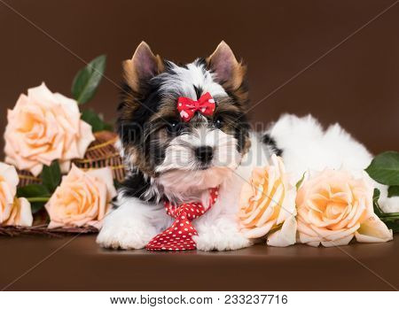 Puppy of a Biewer Yorkshire Terrier