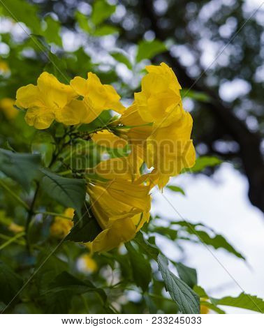 A Beautiful Photo Of The Delicate Yellow Trumpetbush, Aka Tecoma Stans. These Are The Official Flowe
