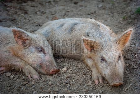Lovely Little Pigs Are Sleeping On The Farm