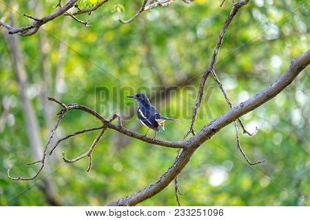 A Single Oriental Magpie Robin Bird Standing On The Leafless Tree Branch At The Park With Sun Light