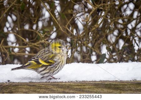 Eurasian Siskin In A Garden With Snow In The Wintertime
