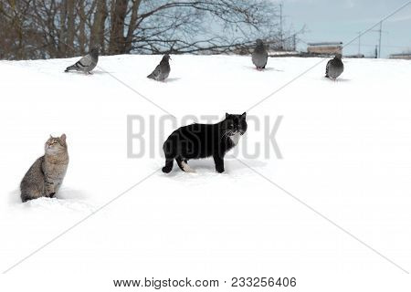 Wild Stray Cats In The Snow Next To Pigeons. Ownerless Animals That Need To Live With People In Care