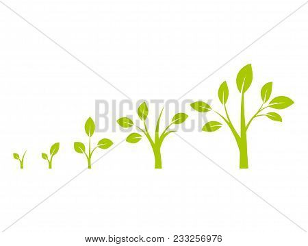 Infographic Of Planting Tree. Tree Growth Diagram With Green Leaf, Nature Plant. Seedling Agricultur