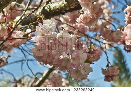Spring Cherry Accolade, Early Ornamental Cherry, Japanese Cherry (prunus Sargentii X Subhirtella Acc