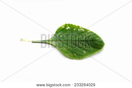 Boldo Leaf With Small Holes Eaten By Insects