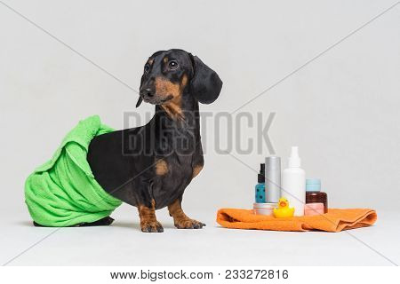 Cute Dog Dachshund, Black And Tan, Wrapped In A Green Towel, After Showering With A Rubber Yellow Du