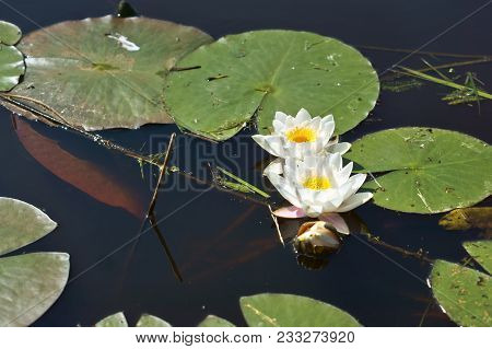 White Lily On The Water, A Lily Blooming White Flower Lilies On The Dark Water
