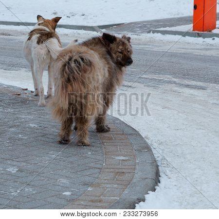 Huge Yard Dogs, Big Stray Dogs In The Yard, Furry Mongrel Dog