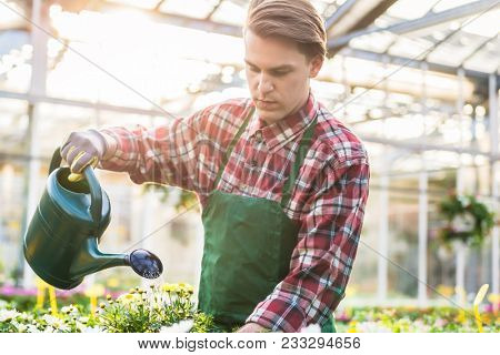 Skilled handsome young man watering with care and patience potted yellow houseplants while working as florist in a modern flower shop