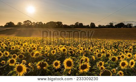 A field full of sunflowers as the evening sun creeps towards the horizon at the end of a summers day.