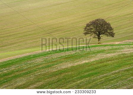 A lone tree in a field on the South Downs in Hampshire, England. The scarified lines in the field showing the contours of the land