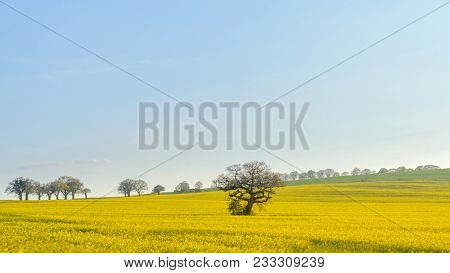 An old oak tree standing in a field on rapeseed on the South Downs in Hampshire on a sunny spring evening.