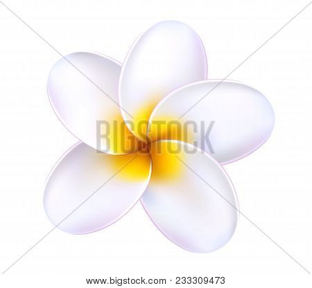 Plumeria Tropical Flower. Relistic 3d Frangipani White Yellow Blossom Blooming. Exotic Floral Illust