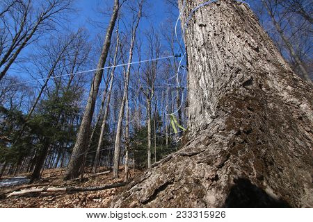 Blue Lines Connected To Maple Trees To Collect Sap To Be Made Into Maple Syrup