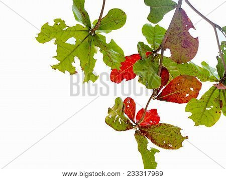 Imperfect Red Leaf And Green Leave. Its Dented By Worm Bite Isolated On White Background.
