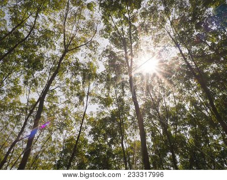 Big Green Trees High Up To Sky With Sunlight Flare In Deep Forest. Nature And Environment Concept.