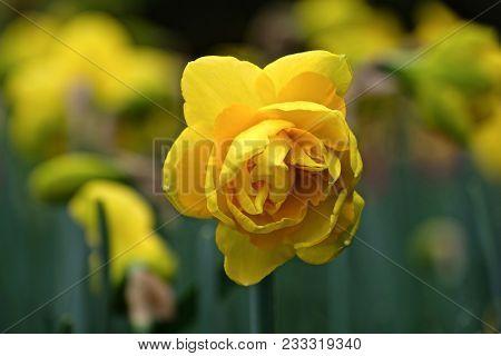 Yellow Daffodil Hybrid Flower. Roozengaarde. Mt Vernon. Washington. Usa.